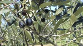 umbrie : Olives on tree branches in an olive grove (close-up 2)