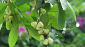 Water Malabar plum apple chomphu rose apple on the tree on the background of plants