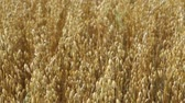 метелка : Oats field. Mature ear.