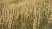 steppe : Autumnal grasses in the wind Stock Footage
