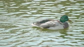 Дания : Duck swimming on a river in the day Стоковые видеозаписи