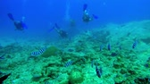 branqueamento : Swim through of a school of scissortail sergeant fish with divers in the background in Seychelles Vídeos