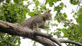 tomcat : Gray striped kitten playing in the tree. Clip in 4K Stock Footage