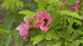 antílope : Bumblebee collects nectar from pink flowers of wild rose. Footage 4k video Stock Footage