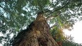 tronco : Looking up view of tropical tree. Travel and nature concept. POV through top of tree, sun shines through leafs