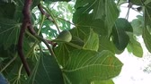 subtropics : Large green figs on a tree branch in autumn.