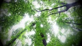 yukarıya bakıyor : Green leafy trees in forest looking up to the sky Stok Video