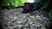 tohumlar : Grackle blackbird eating seed off ground - Wildlife hunting for food in nature