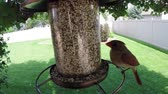 gramado : Bird feeder with male and female northern cardinal birds eating Stock Footage