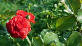 розы : Gardening red rose flower and leaves under the rain