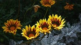 fundo verde : Yellow flowers Gazania swinging on the wind