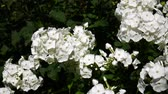blooming : White phlox swinging on the wind Stock Footage