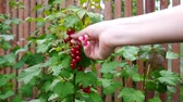 suculento : Picking up red currants from currant bush