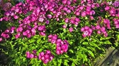 blooming : Pink phlox swinging on the wind