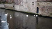 swan : Swans and seagulls swimming on the river in the Bruges, Belgium