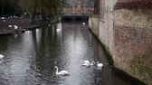swan : Swans and ducks swimming on the river in the Bruges, Belgium