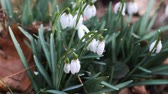 aéreo : Close-up of forest snowdrops in sunshine