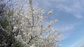 blooming : Flowering cherry in the sunlight on blue sky background