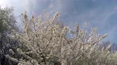 fresco : cherry blossoms in the sunlight on blue sky background Stock Footage