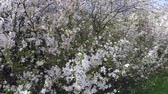 cherry blossoms in the sunlight Stock Footage