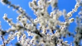 fundo verde : Flowering cherry in the sunlight on blue sky background