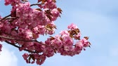 florescente : Branches of the sakura blossoms against the blue sky