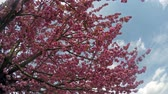 aéreo : Sakura cherry blossoms against the blue sky