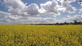 estupro : Rapeseed field in the sunshine against the blue sky