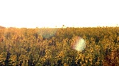 aéreo : Blooming rapeseed field at sunset Vídeos