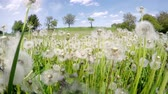 Field of overblown white dandelions on sunny day