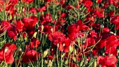 Blossoming red poppies on sunny day