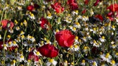 Blossoming chamomiles and red poppies on sunny day