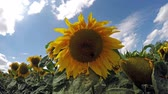 Closeup of sunflower on sunflowers field at sunny windy day Stok Video