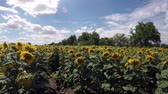 Field of sunflowers in sunny day Stok Video