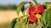 размыто : Closeup of branch with fresh ripe peaches and leaves on the tree. Sunny windy day.
