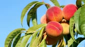Closeup of branch with fresh ripe peaches and leaves on the tree. Blue sky as background. Sunny windy day. Stok Video