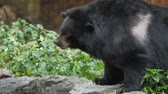 em movimento : Asian black bear.