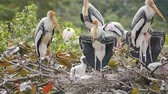 夏季 : Painted Storks with flapper in a nest on tree.