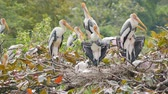 Painted Storks with flapper in a nest on tree Стоковые видеозаписи