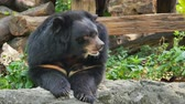 Asian black bear relax on ground. Стоковые видеозаписи