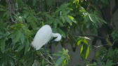 White Egret grooming feather on a branch.