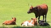 страна : group of young calves lying in lush grass with adult cows standing nearby