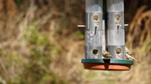 male animal : Time lapse of American Goldfinch birds feeding on a bird feeder in an early Florida spring