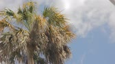 zelí : Cabbage palm or Sabal palmetto which is the State tree of Florida moving in a gentle wind