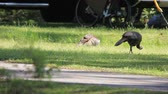 орнитология : Two wild turkeys foraging for bugs in the grass in a campground