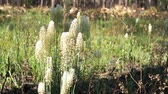 alışılmadık : Osceolas Plume or Stenanthium densum blooming on the forest floor