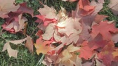fundo colorido : colorful fall maple leaves windblown on green grass on a windy day