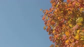 fundo colorido : Shades of red, yellow to green maple leaves blowing in the wind Stock Footage