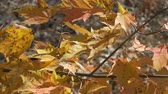 Autumn maple leaves on a windy day 4K