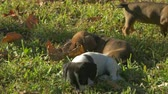 dachshund puppies playing with leaf 4K Stock Footage